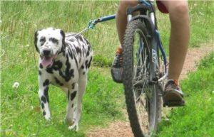 Обучение собаки движению с велосипедом